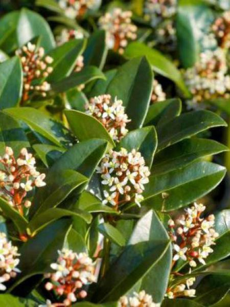 Skimmia du Japon 'Olympic Flame'
