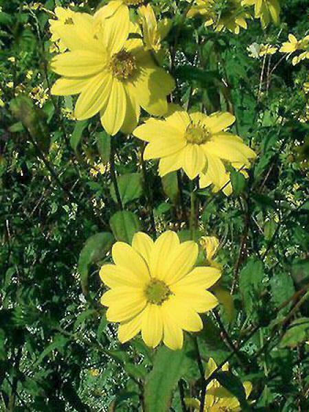 Soleil vivace à petites fleurs