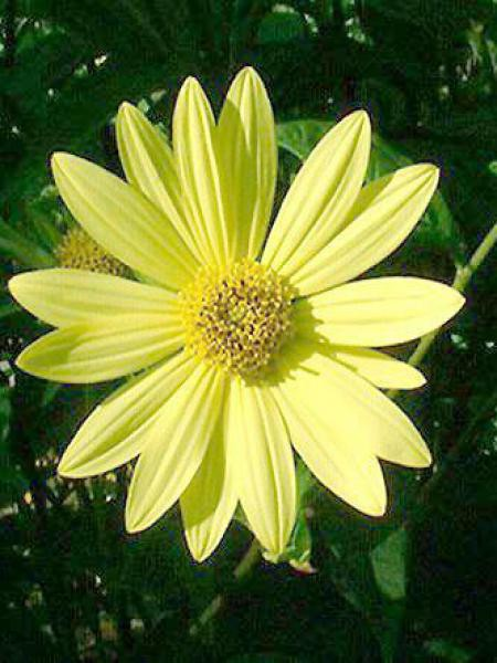 Soleil vivace 'Lemon Queen'