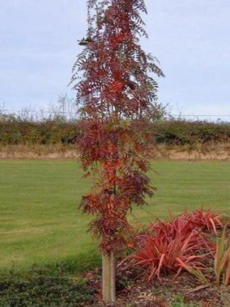 Sorbier des oiseleurs 'Autumn Spire'