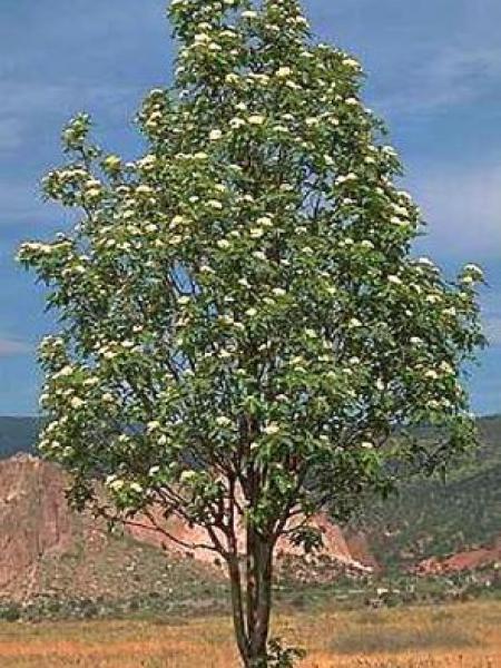 Sorbus x thuringiaca 'Fastigiata'