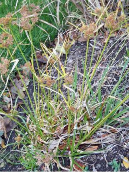 6 PLANTS DE PAPYRUS ALTERNIFOLIUS 12° MESURANT 6 CMS ENVIRON ACTUELLEMENT