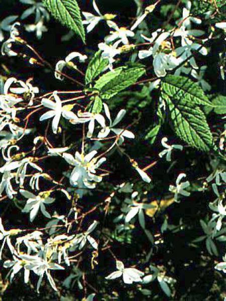 Spirée à 3 feuilles