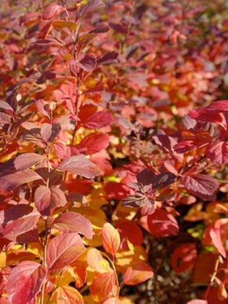 Spirée à feuilles de bouleau