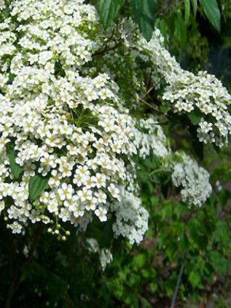 Spirée japonaise 'Albiflora'