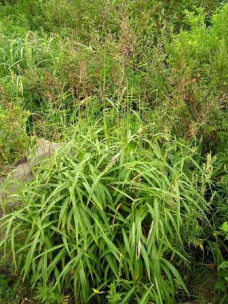 Spodiopogon siberica