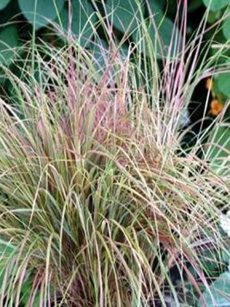 Stipa arundinacea 'Sirocco'