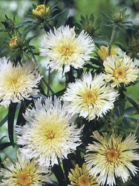 Stokesia laevis 'Mary Gregory'