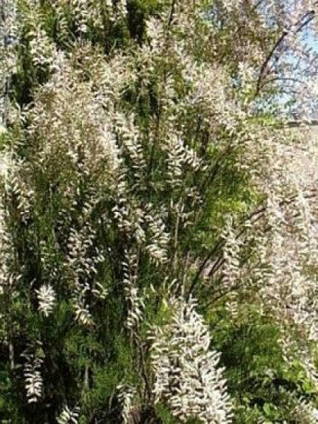 Tamaris d'été 'Hulsdonk White'®