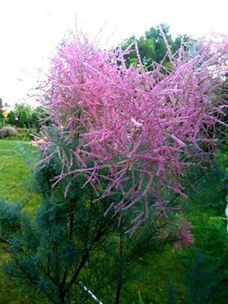 Tamaris d'été 'Pink Cascade'