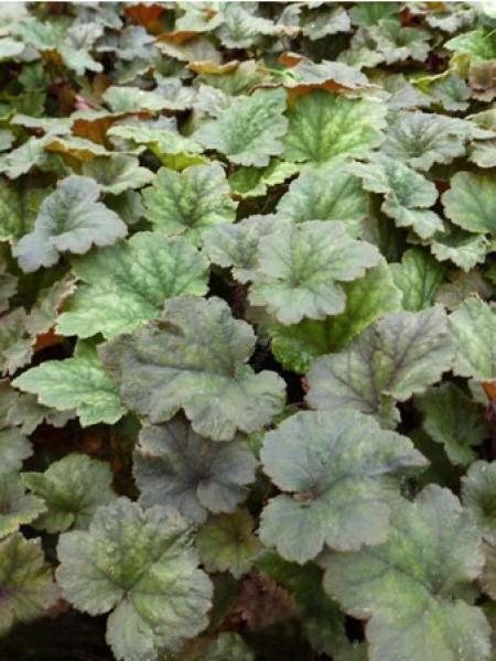 Tellima grandiflora 'Moorblut'