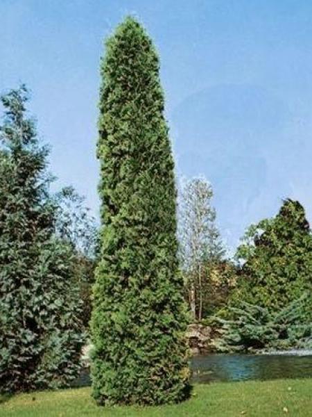Thuya du Canada 'Pyramidalis Compacta'