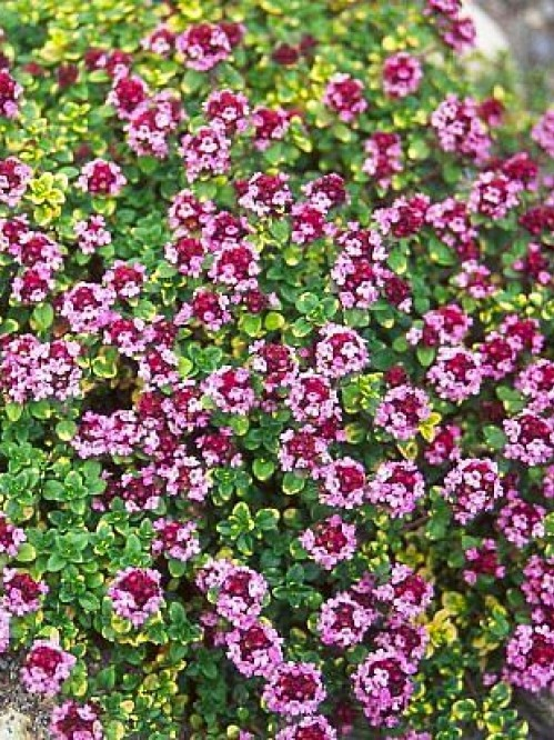 Thymus citriodorus 'Doone Valley'