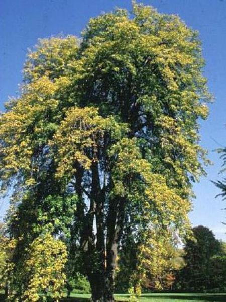 Tilia tomentosa 'Pendula'