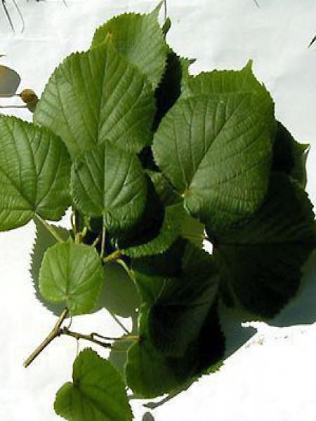 Tilleul à grandes feuilles, Tilleul de Hollande