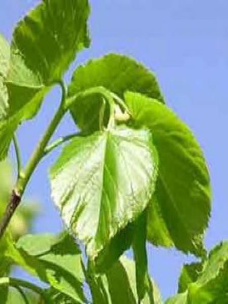Tilleul à petites feuilles 'Greenspire'