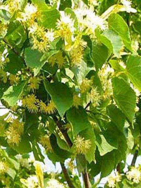 Tilleul à petites feuilles 'Roelvo'
