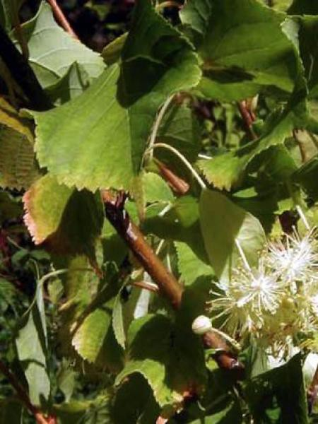 Tilleul à petites feuilles 'Winter Orange'