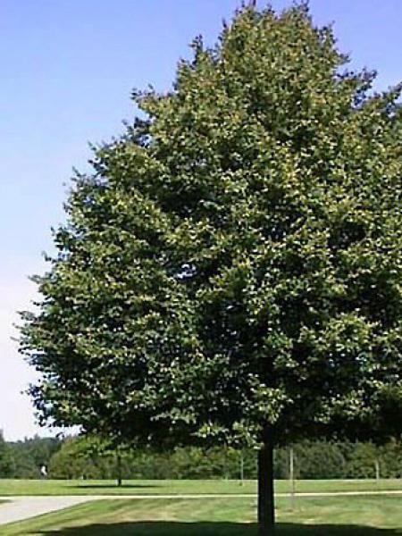 Tilleul à petites feuilles
