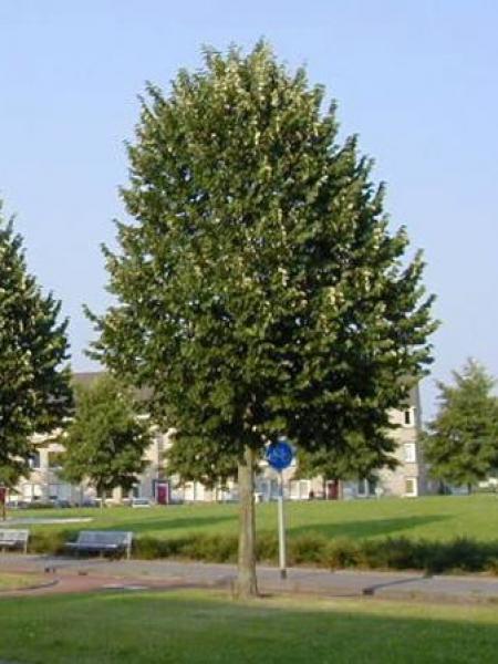 Tilleul argenté 'Brabant'