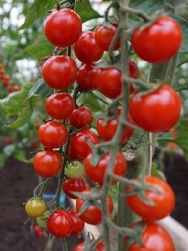 Tomate cerise rouge buisson 'Brillantino'