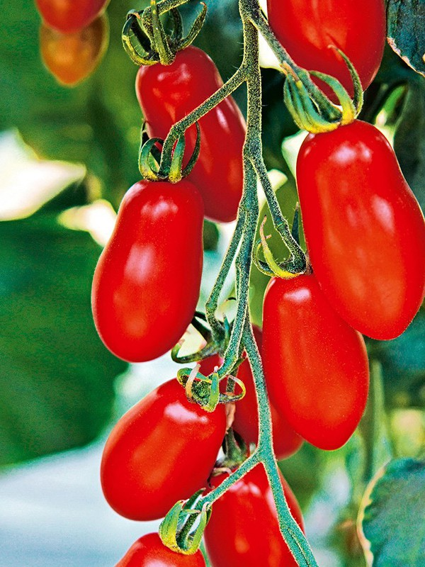 Tomate cerise 'Trilly'