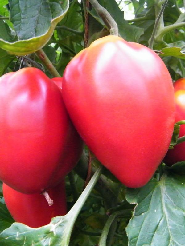 Tomate 'Fleurette'