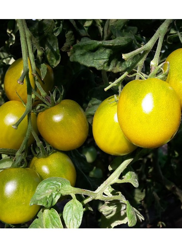 Tomate 'Green Grappe'