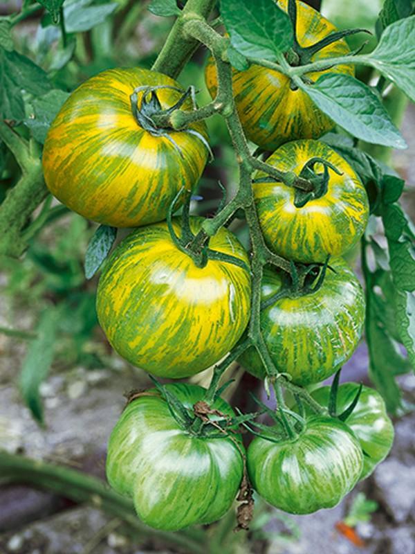 Tomate 'Green Zebra'