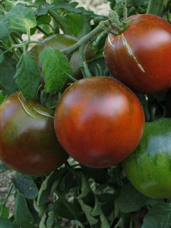 Tomate 'Noire Russe'