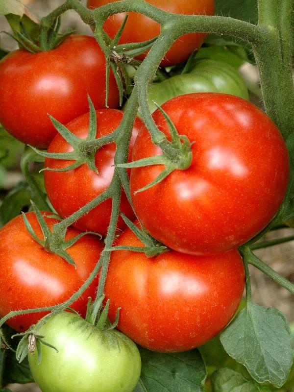 Tomate 'Prévia'