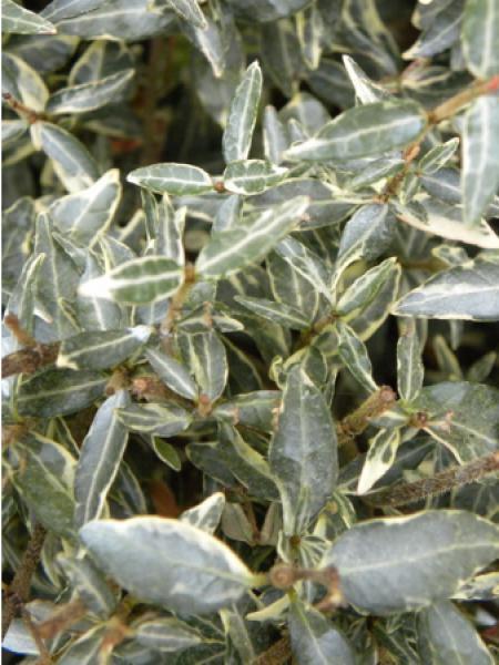 Trachelospermum asiaticum 'Goshiki Chirimen'
