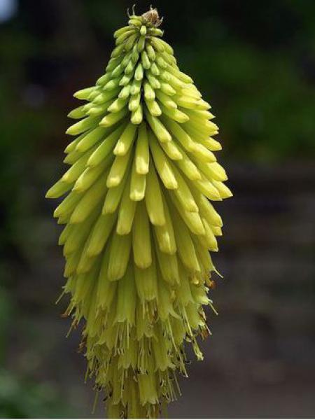 Tritoma jaune