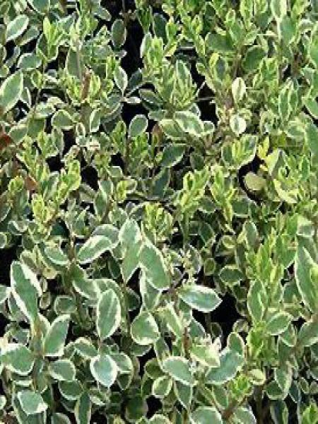 Troène de Californie  'Argenteum'
