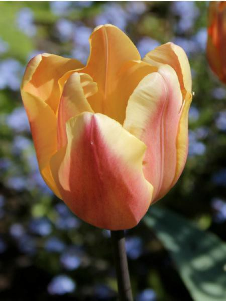 Tulipe 'Apricot Foxx'