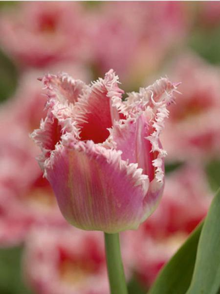 Tulipe 'Bell Song'
