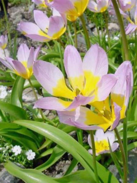 Tulipe botanique 'Bakeri Lilac Wonder'
