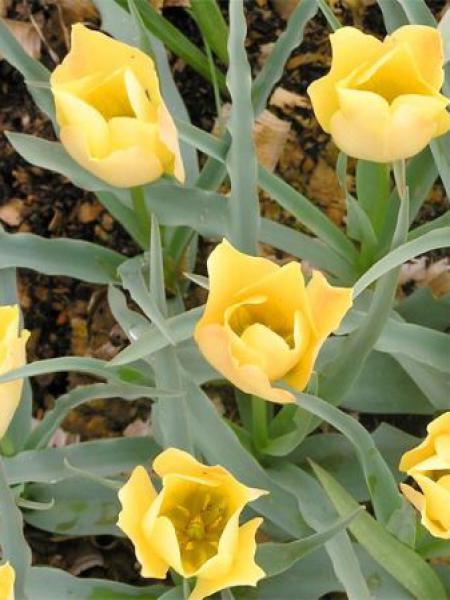 Tulipe botanique 'Batalinii Bright Gem'