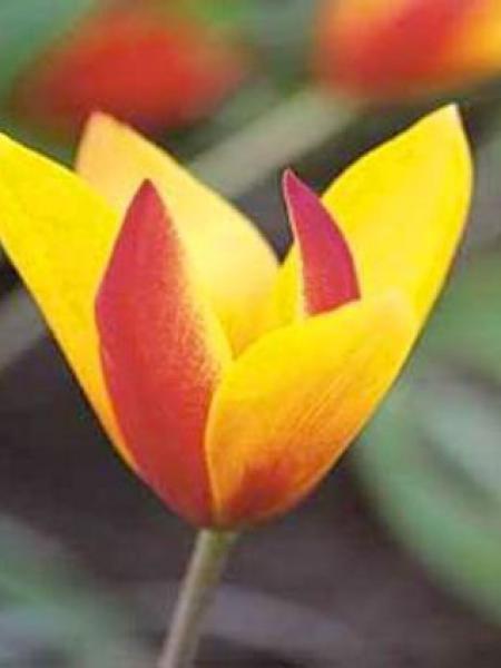 Tulipe botanique 'Chrysantha'