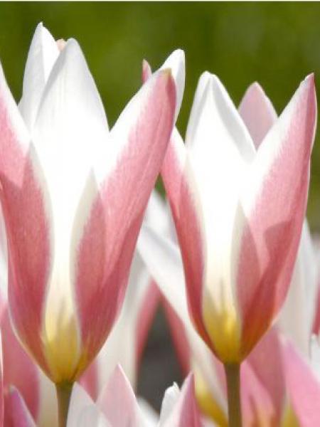 Tulipe botanique 'Lady Jane'