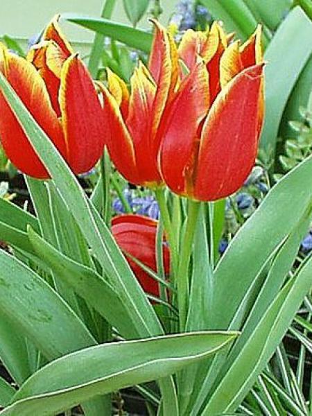 Tulipe botanique 'Schrenkii'