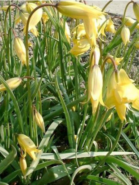 Tulipe Botanique 'Sylvestris'