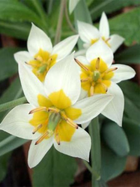 Tulipe botanique 'Turkestanica'