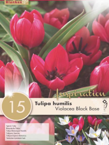 Tulipe botanique 'Violacea Black Base'
