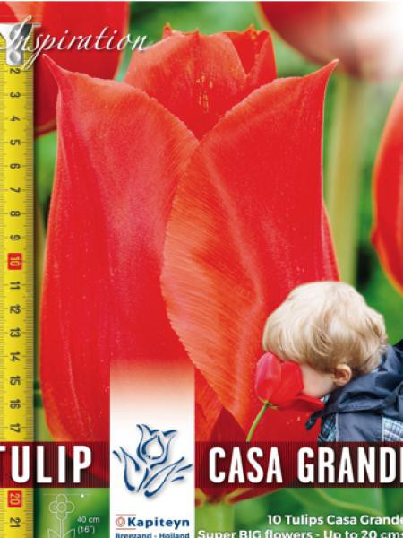 Tulipe 'Casa Grande'