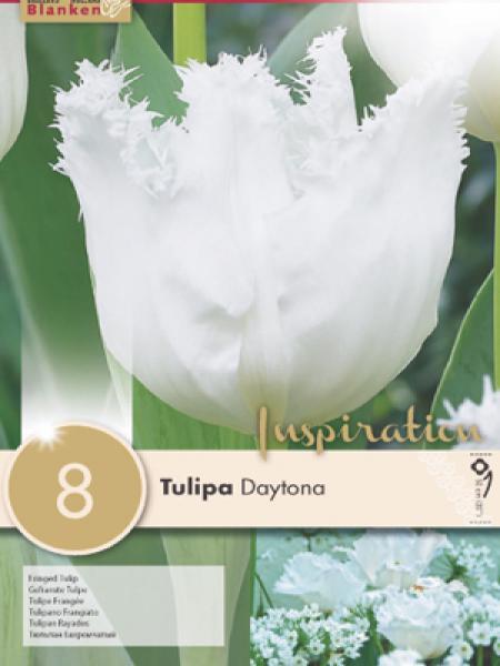 Tulipe 'Daytona'