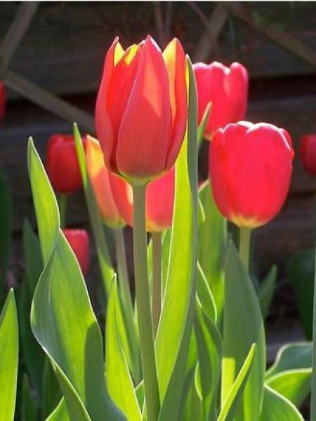 Tulipe de Darwin 'Apeldoorn'