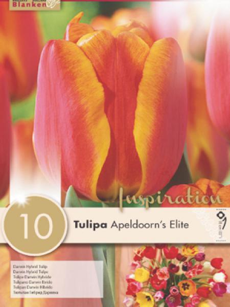Tulipe de Darwin 'Appeldoorn's Elite'