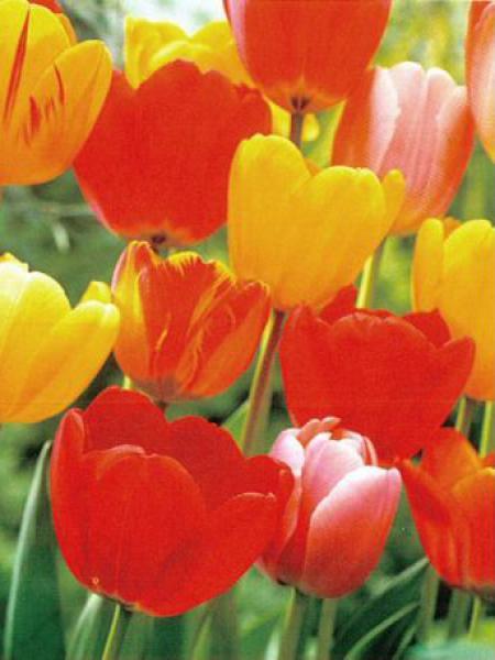 Tulipe de Darwin en mélange