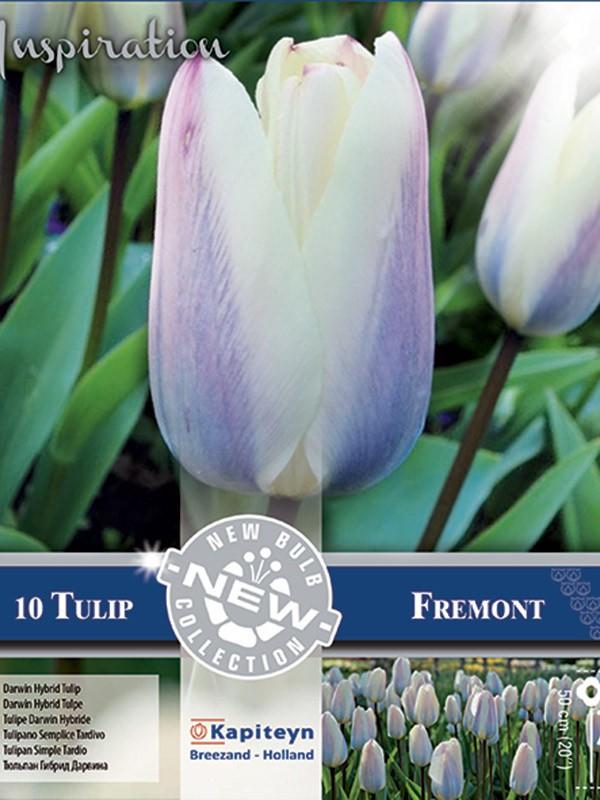 Tulipe de Darwin 'Fremont'